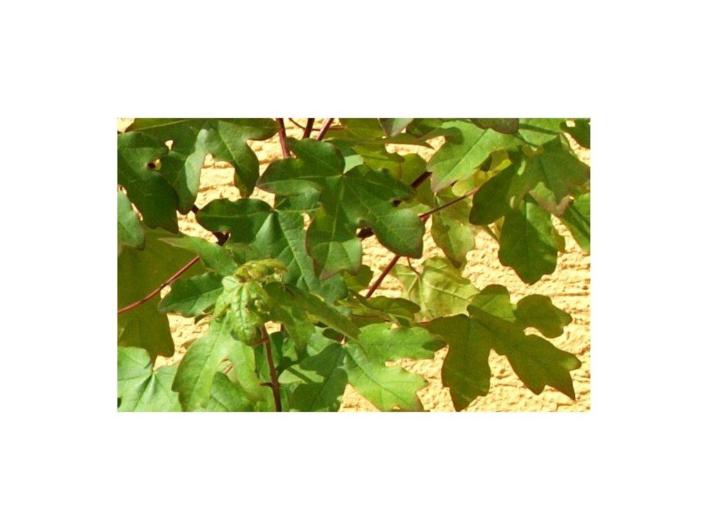 Acer campestre  Javor babyka
