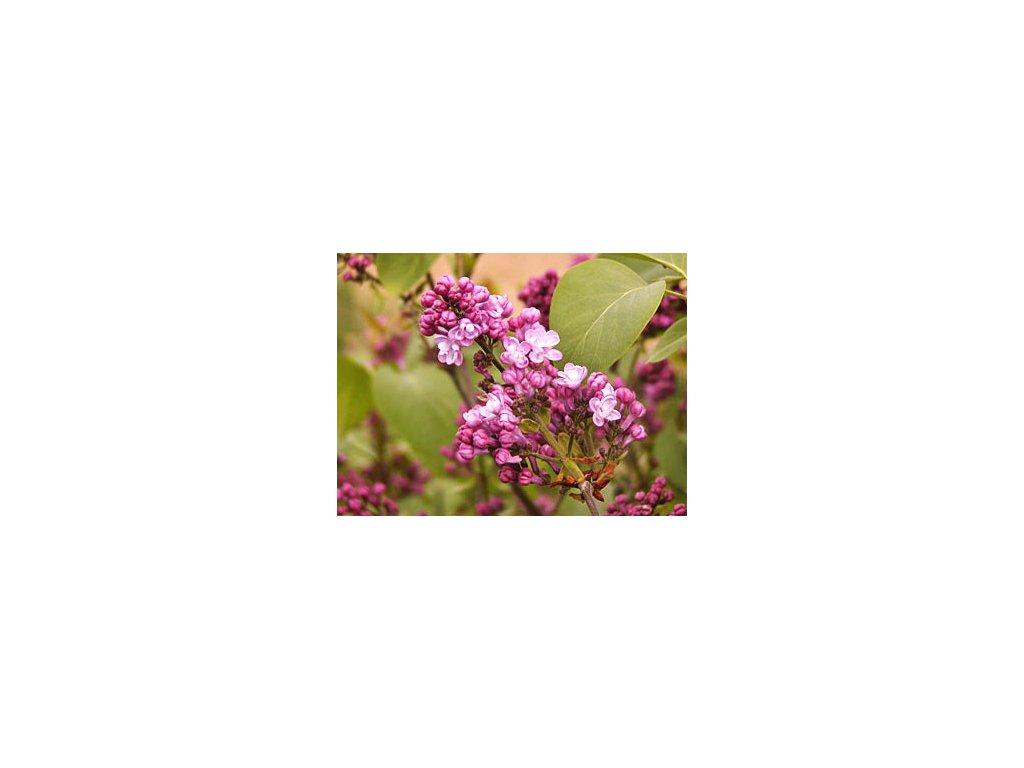 Syringa vulgaris ´Belle de Nancy´  Šeřík obecný ´Belle de Nancy´