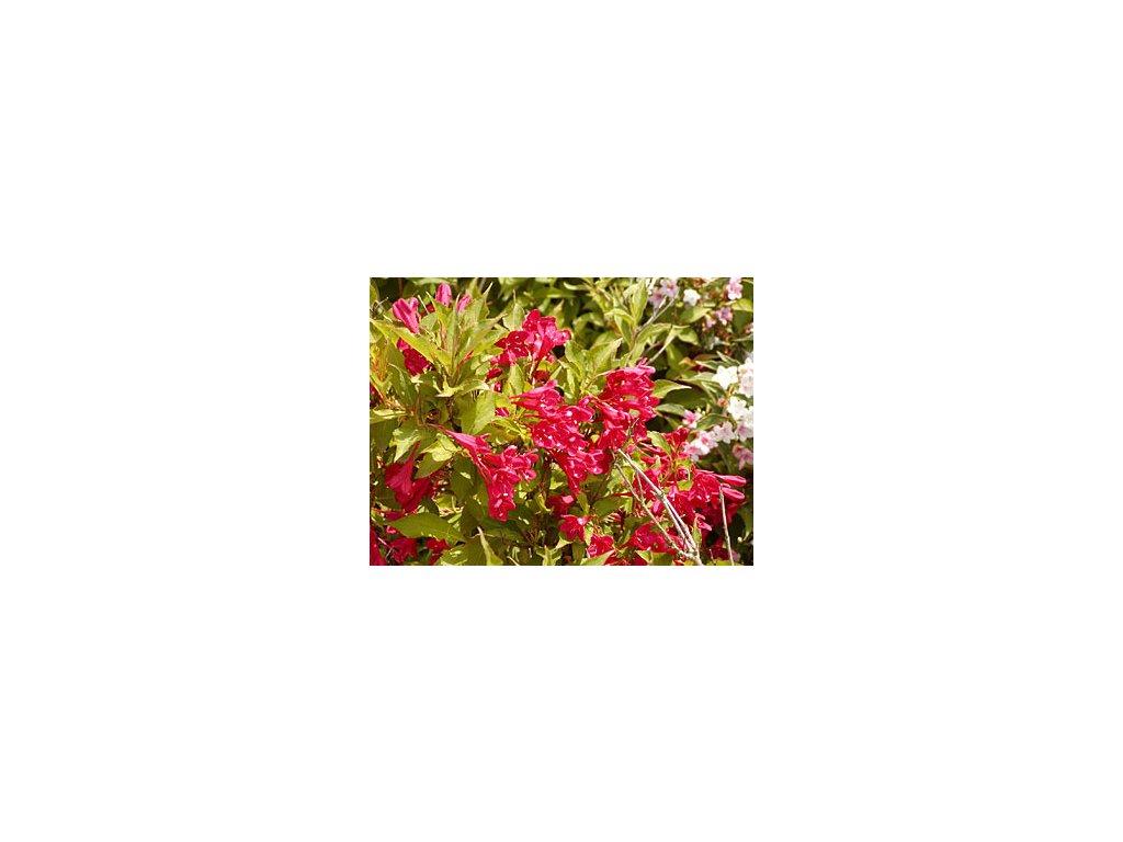 Weigela ´Red Prince´  Vajgélie ´Red Prince´