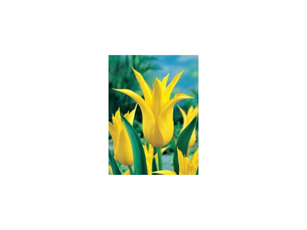 Tulipa liliflora Flashback (8 ks)  Tulipán liliokvětý Flashback