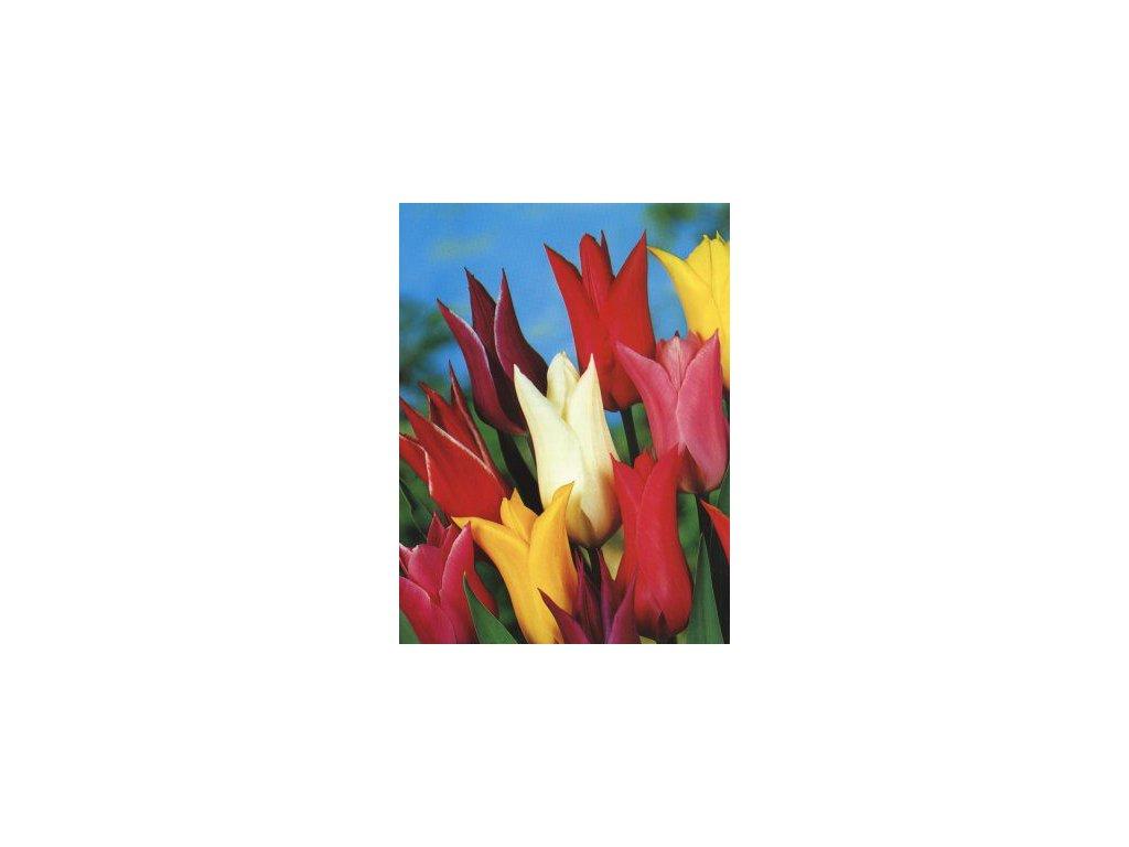Tulipa liliflora - směs barev (8 ks)  Tulipán liliokvětý - směs barev