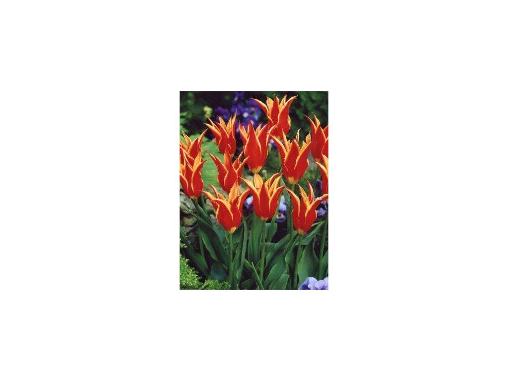 Tulipa liliflora Aladdin´s Record (8 ks)  Tulipán liliokvětý Aladdin´s Record