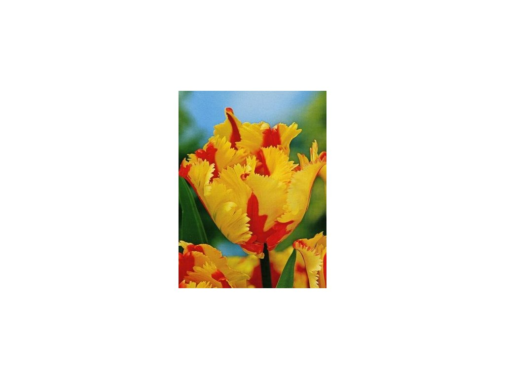 Tulipa Flaming Parrot  Tulipán  Flaming Parrot