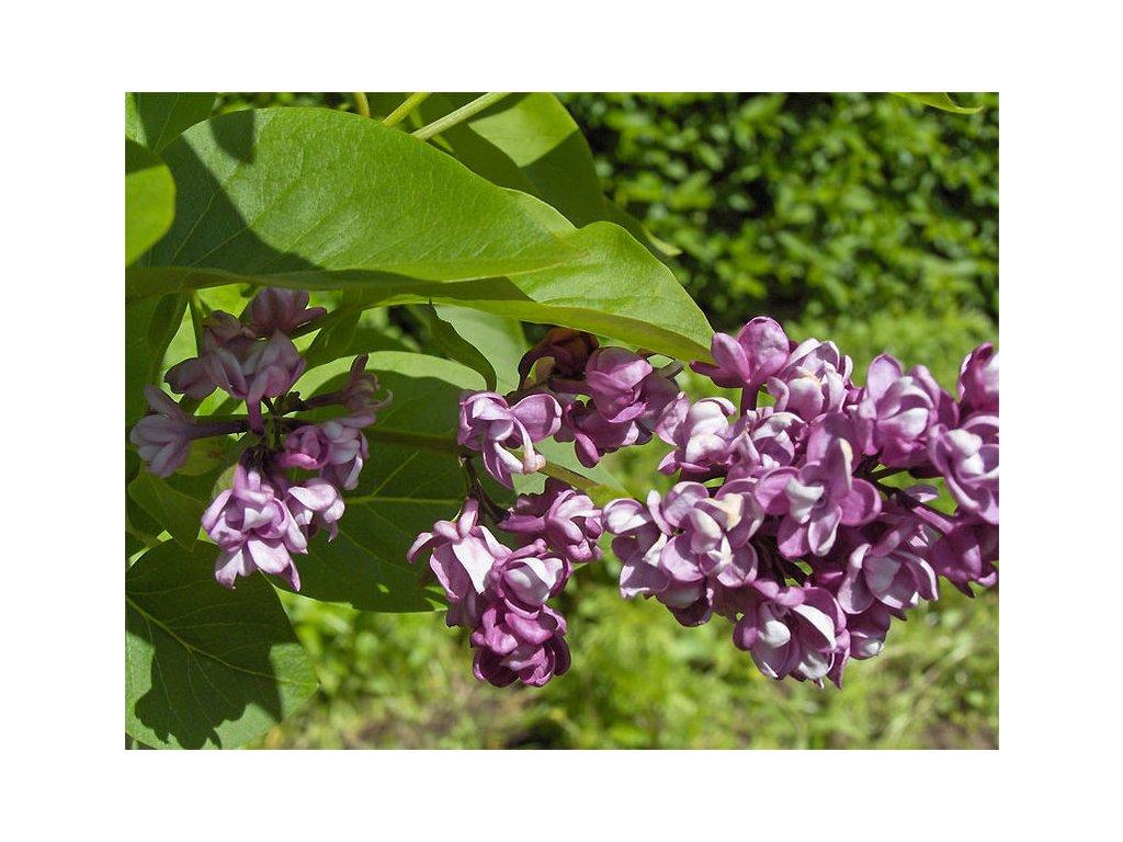 Syringa vulgaris 'Charles Joly'  Šeřík obecný 'Charles Joly'