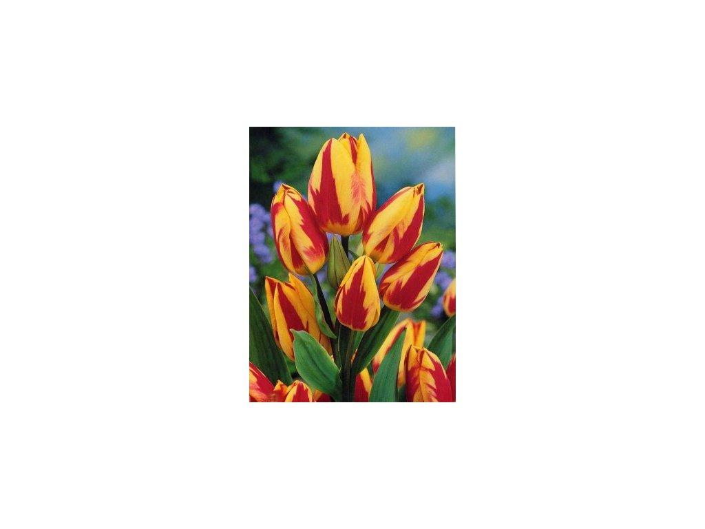 Tulipa Colour Spectacle (5 ks) mnohokvěté!  Tulipán mnohokvětý Colour Spectacle