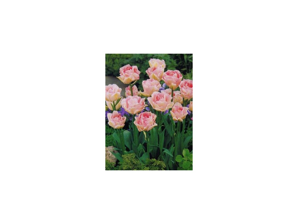 Tulipa Angelique - pivoňkovitý (8 ks)  Tulipán pivoňkovitý Angelique