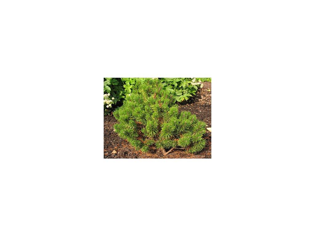 Pinus mugo 'Ophir'  Borovice kleč 'Ophir'