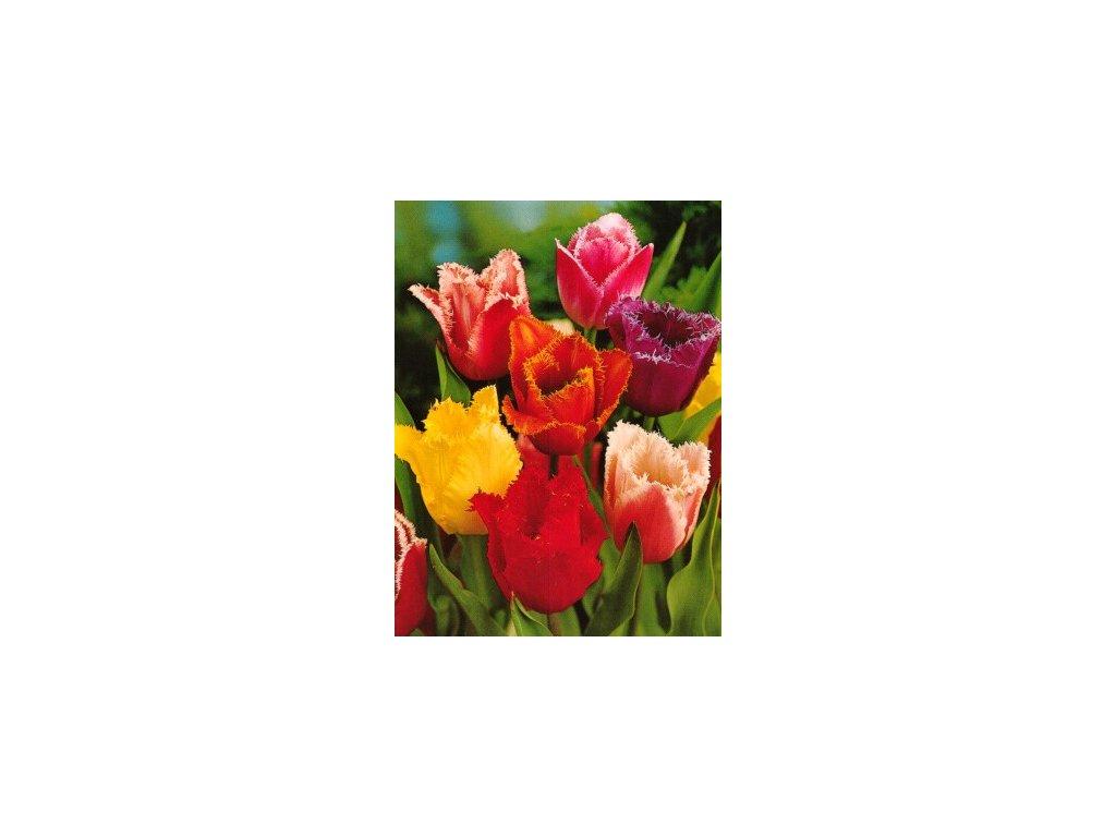 Tulipa Crispa - směs třepenitých barev (10 ks)  Tulipán Crispa - směs třepenitých barev