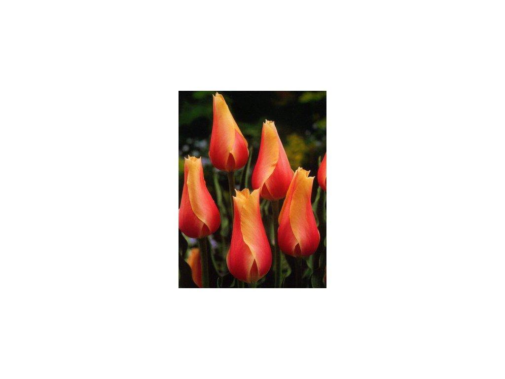 Tulipa Blushing Beauty - jednoduchý, pozdní (5 ks)  Tulipán Blushing Beauty