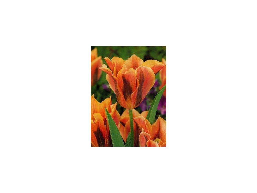 Tulipa viridiflora Artist (5 ks)  Tulipán viridiflora Artist