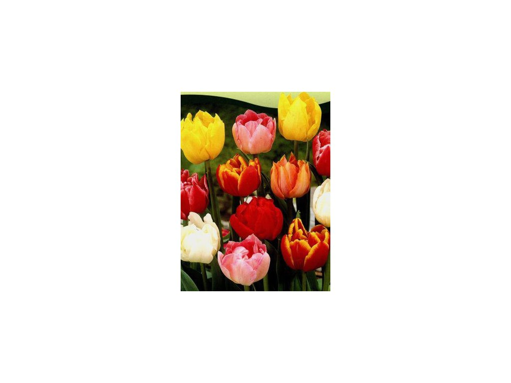 Tulipa - směs plných raných barev (5 ks)  Tulipán - směs plných raných barev