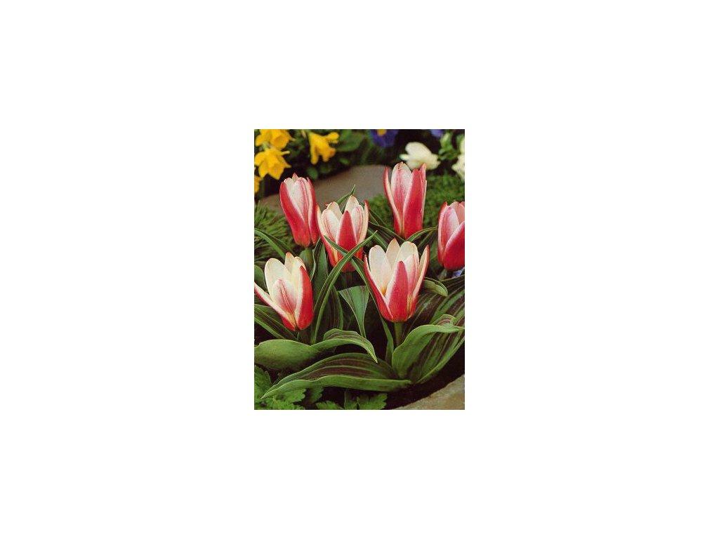 Tulipa kaufmaniana Heart´s Delight (8 ks)  Tulipán kaufmaniana Heart´s Delight