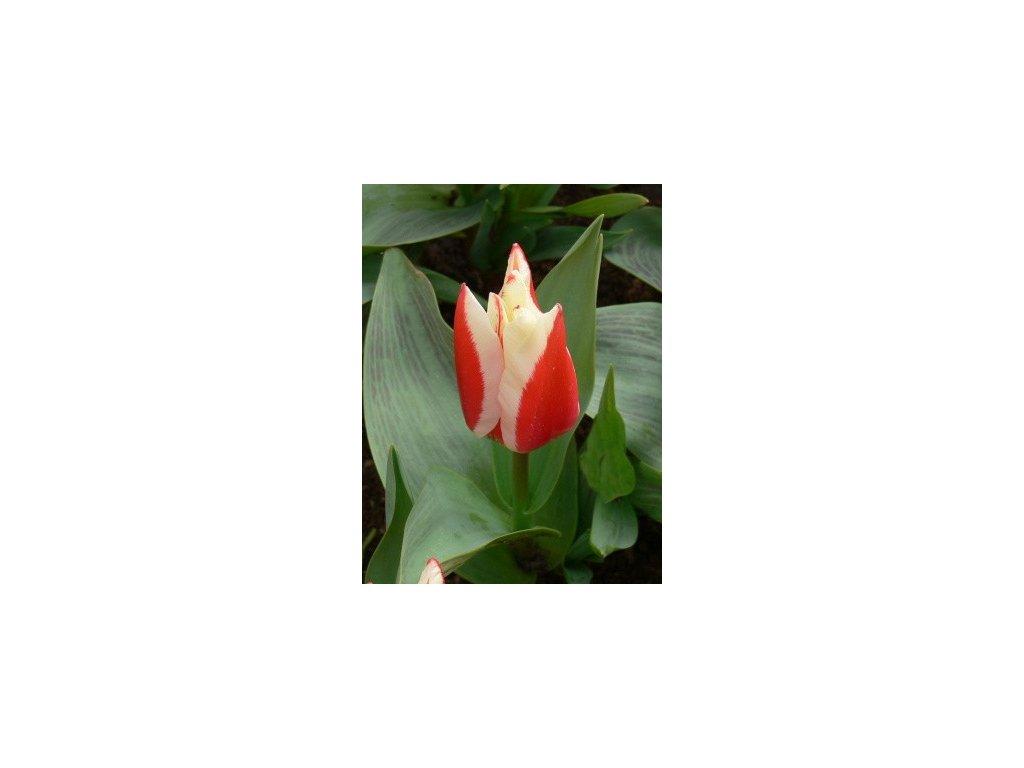 Tulipa gregii Perfectionist (8 ks)  Tulipán gregii Perfectionist
