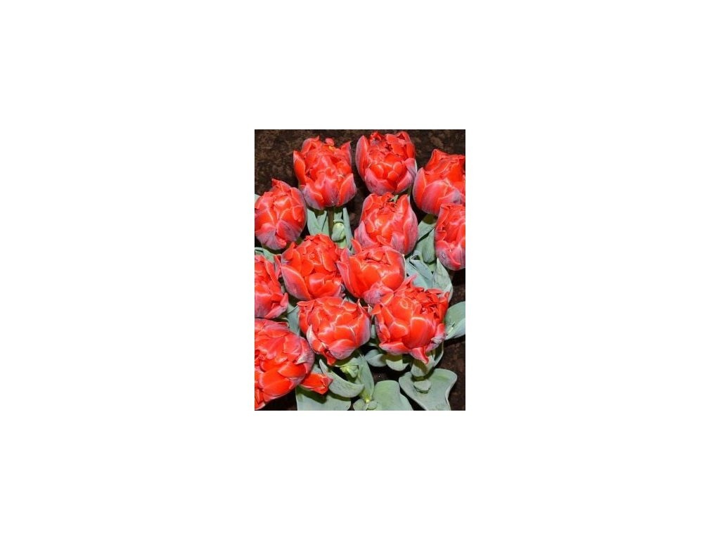 Tulipa Red Princess - nízký (5 ks)  Tulipán Red Princess