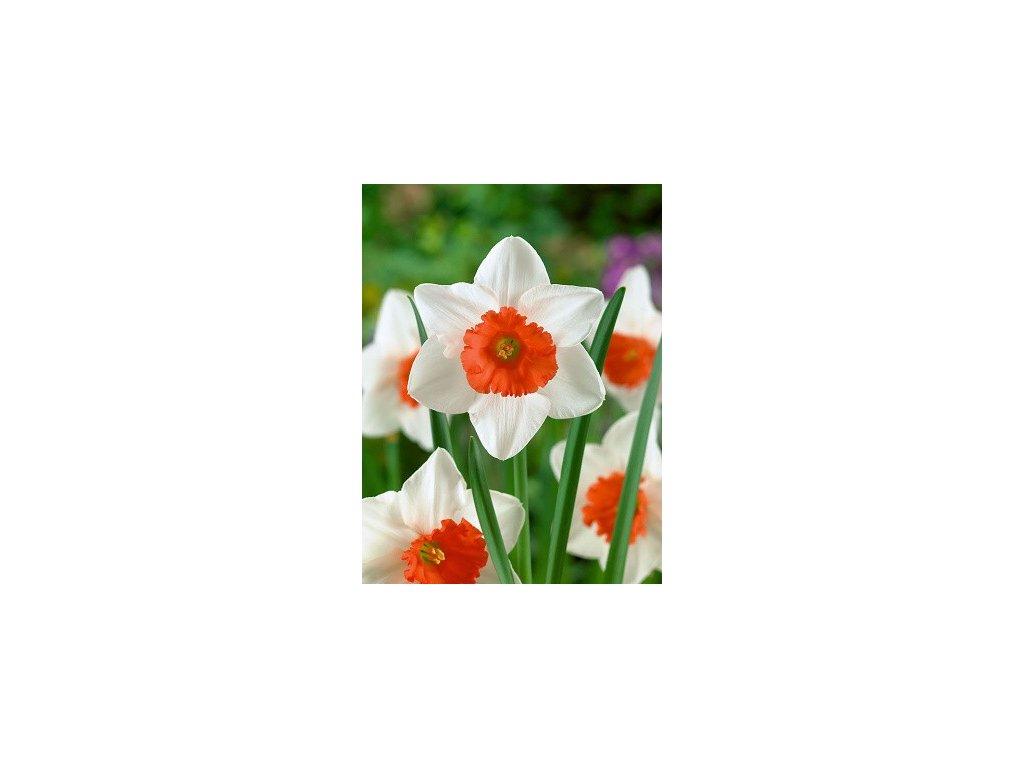 Narcissus Decoy (3 ks)  Narcis Decoy