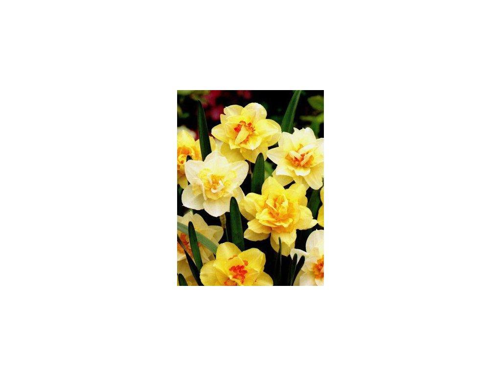 Narcissus - směs plnokvětých barev (5 ks)  Narcis plnokvětý - směs barev