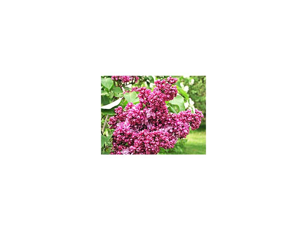 Syringa vulgaris ´Paul Thirion´  Šeřík obecný ´Paul Thirion´