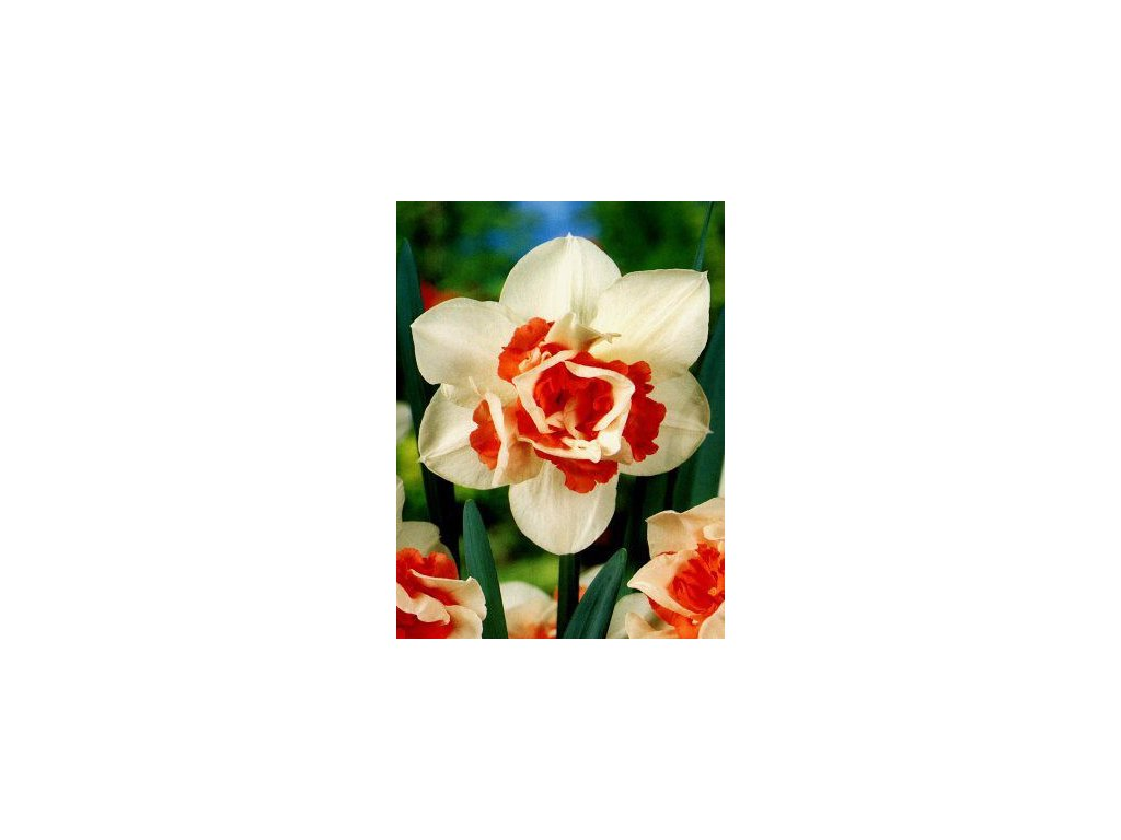 Narcissus Replete (5 ks)  Narcis Replete