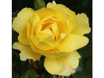 Rosa Golden Showers - pnoucí  Růže pnoucí Golden Showers