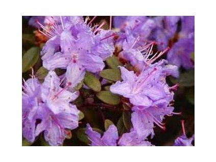 Rhododendron impeditum Ramapo - zakrslý  Zakrslý pěnišník Ramapo