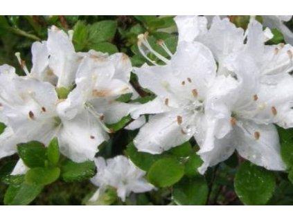 Rhododendron obtusum 'Luzi' - zakrslý  Rhododendron obtusum 'Luzi'