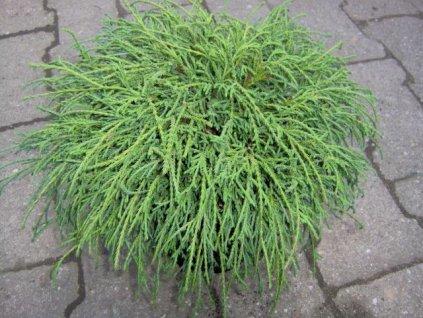 Chamaecyparis pisifera ´Filifera Nana´  Cypřišek hrachonosný ´Filifera Nana´