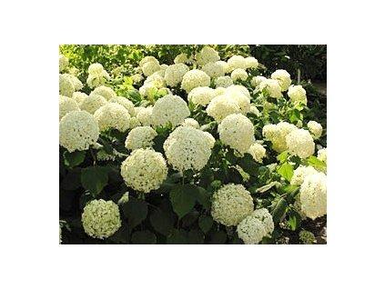 Hydrangea arborescens 'Annabelle'  Hortenzie stromečková 'Annabelle'
