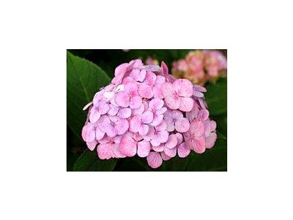 Hydrangea serrata 'Preziosa'  Hortenzie pilovitá 'Preziosa'