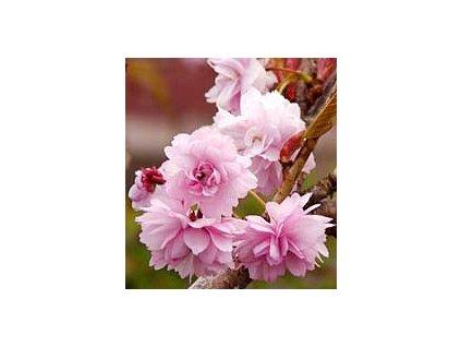 Prunus serrulata 'Kiku-shidare-sakura'  Višeň pilovitá 'Kiku-shidare-sakura'