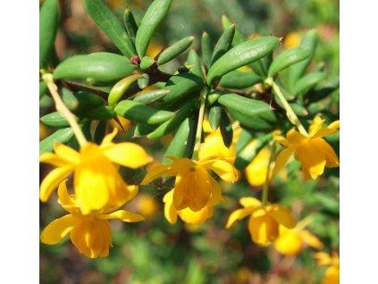 Berberis stenophylla  Dřišťál úzkolistý
