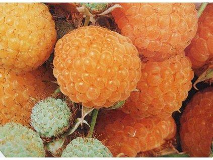 Maliník Apricot - žluto-oranžový, stáleplodící (kontejnerovaný)  Malina Apricot žluto-oranžová, stáleplodící