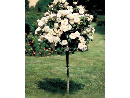 Růže stromková - bílá kontejnerovaná!