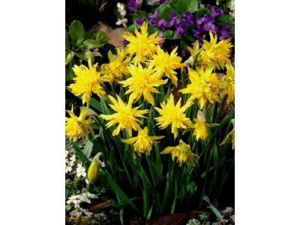 Narcissus Rip van Winkle (5 ks)  Narcis skalkový Rip van Winkle