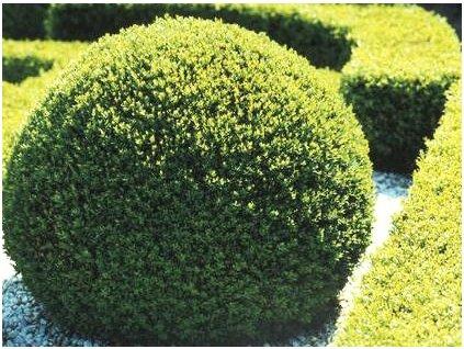Buxus sempervirens  Zimostráz obecný