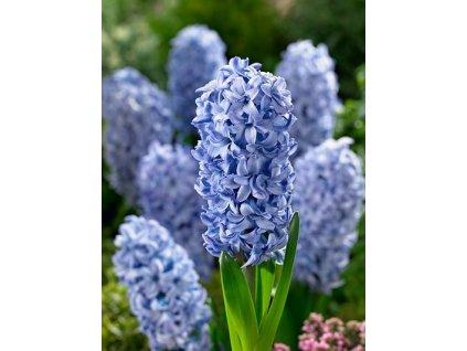 Hyacint Blue Tango (3 ks)  Hyacint Blue Tango
