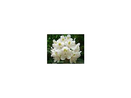 Rhododendron Madame Masson 25 - 40 cm  Pěnišník Madame Masson