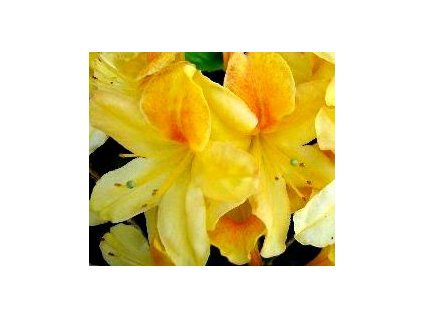 Azalea knaphill Goldtopas - velkokvětá 10 - 15 cm  Velkokvětá azalka Goldtopas