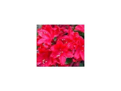 Azalea knaphill Doloroso - velkokvětá 10 - 15 cm  Velkokvětá azalka Doloroso