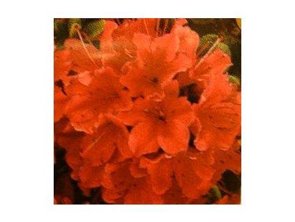 Azalea japonica Geisha Orange - japonská azalka  Japonská azalka Geisha Orange (Rhododendron obtusum)
