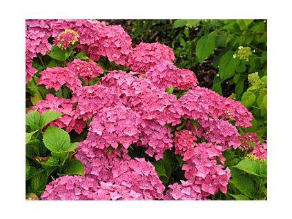 Hydrangea macrophylla 'Leuchtfeuer'  Hortenzie velkolistá 'Leuchtfeuer'