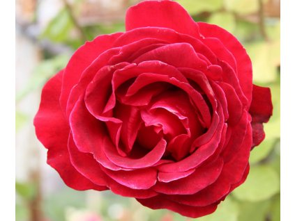 Rosa Don Juan - pnoucí  Růže pnoucí Don Juan