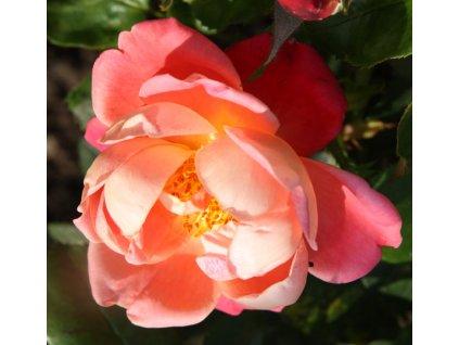 Rosa Holiday - pnoucí  Růže pnoucí Holiday