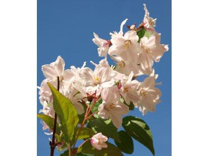 Deutzia hybrida 'Pink Pompon'  Trojpuk hybrida 'Pink Pompon'