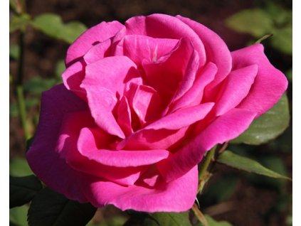 Rosa Belange - velkokvětá  Růže velkokvětá Belange