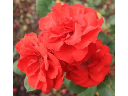 Rosa Red Delight - polyantka (sadová, mnohokvětá)  Růže mnohokvětá Red Delight (sadová)