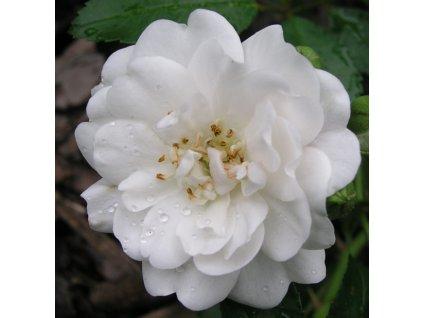 Rosa New Crystal - polyantka (sadová, mnohokvětá)  Růže mnohokvětá New Crystal (sadová)