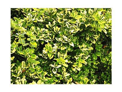 Euonymus fortunei 'Emerald 'n Gold'  Brslen žlutopestrý 'Emerald 'n Gold'