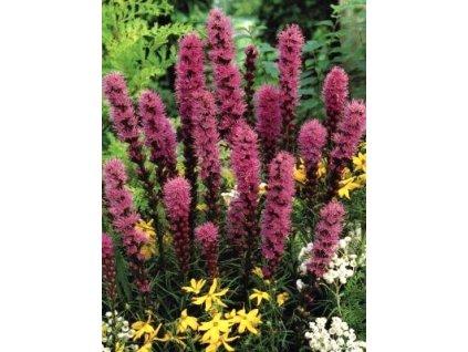 Liatris spicata Kobold (10 ks)  Šuškarda klasnatá (shorakvět) Kobold