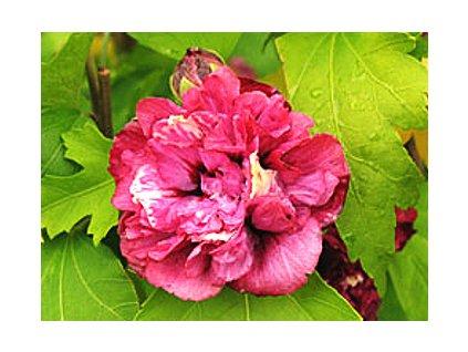Hibiscus syriacus ´Duc de Brabant´  Ibišek syrský ´Duc de Brabant´