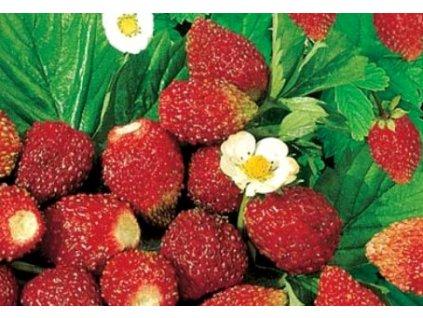 Jahodník RUJANA - lesní měsíční jahody  Fragaria RUJANA - aromatické lesní měsíční jahody